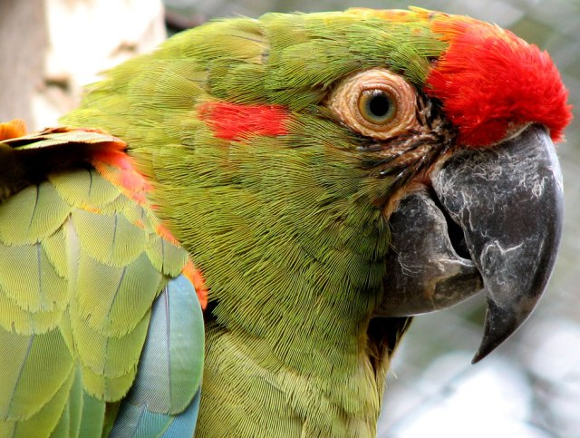 red-fronted-macaw-01