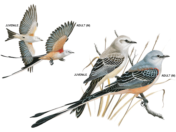 scissor-tailed-flycatcher_17112_600x450