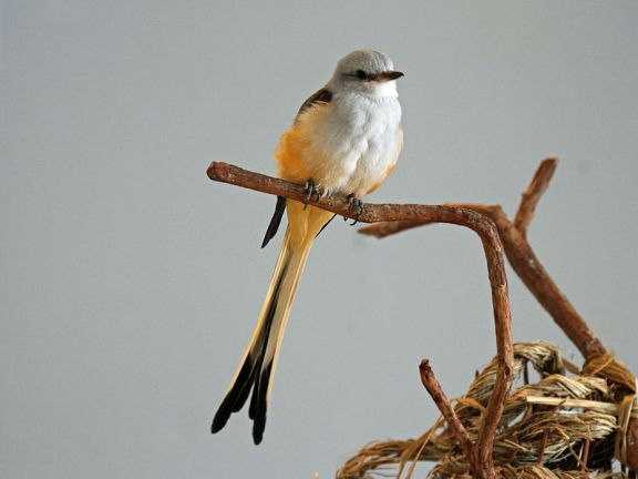 Scissor-tailed_Flycatcher_RWD7