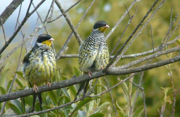 Swallow-tailed Cotinga P1030002