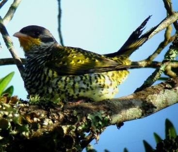 _Swallow-tailed_Cotinga