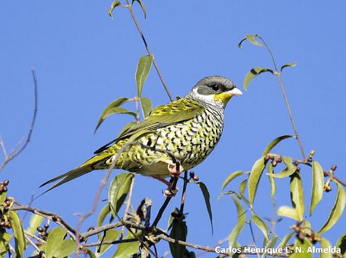Swallow-tailedCotinga1