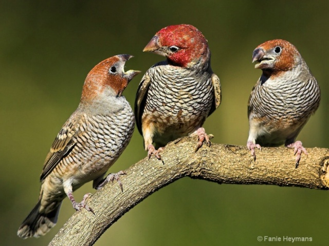 1101090851041red_head_finch