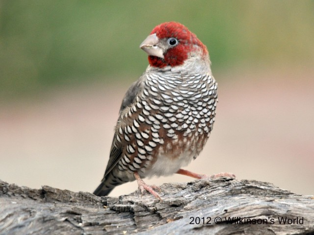 12-red-headed-finch