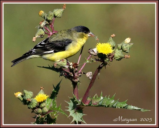 550px-Lesser_Goldfinch