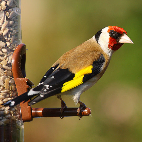 600px-Gold_Finch