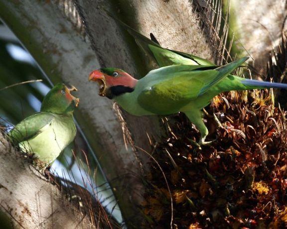 750px-Long_tailed_parakeet_(Psittacula_longicauda)