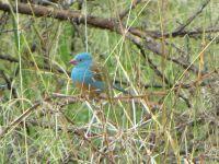 ا-Blue-capped_Cordon-bleu,_Ngorongoro