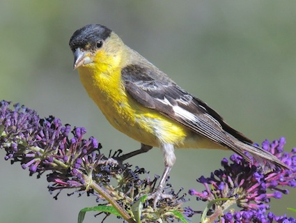 lesser_goldfinch_collinscochran