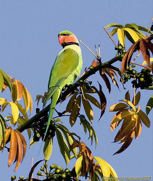 long_tailed_parakeet_1ss