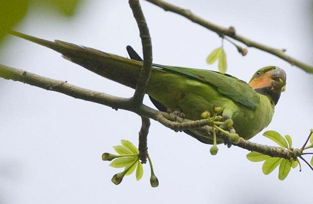 longtailed_parakeet_ns