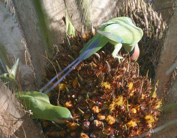 ltparakeet1cm_051202lky