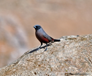 1111-black-faced-waxbill-porcupine-camp-kamanjab-04-07-2012-dsc_0229