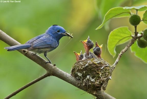 عش العاهل الازرق 12-birds-blacknapedmonarch