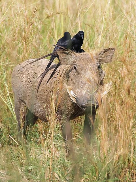 Warthog (Phacochoerus africanus) and Piapiacs (Ptilostomus afer)