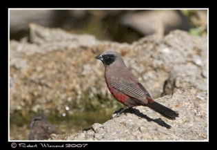 550px-IMG_9951Black-faced_Waxbill_-_R_Wienand_1_