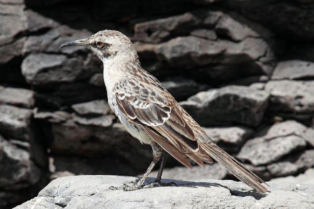 800px-Hood-mockingbird-rocks