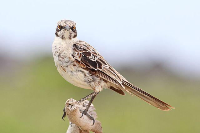 800px-Hood-mockingbird