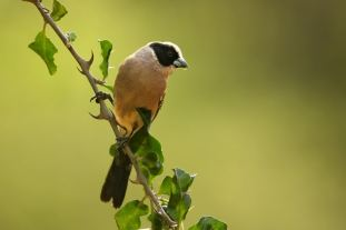 Black-cheekedWaxbill_Samburu_Chiu_0