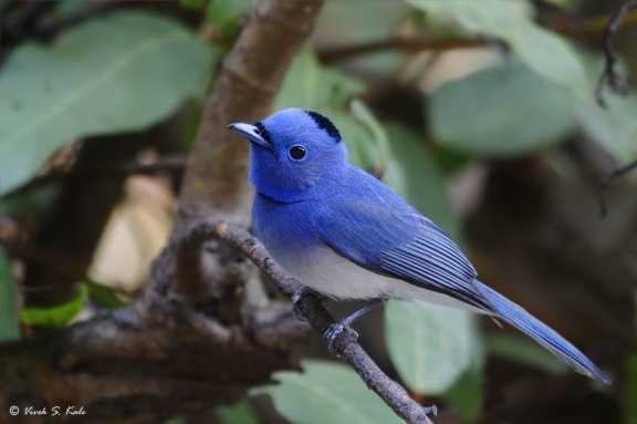 black-naped-monarch-10
