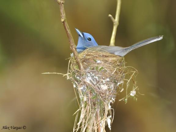 عش العاهل الازرق Black-napedmonarch-nesting-fem3nf