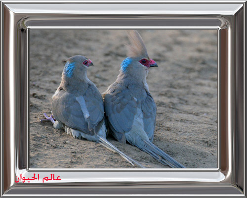 Blue-naped Mousebirds