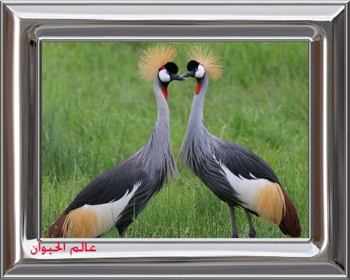 Crowned-Cranes