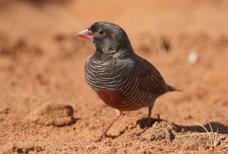 أسود الوجه Quailfinch Flickr_-_Rainbirder_-_African_Quailfinch_