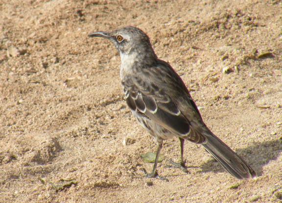 DSCN3152_Espanola_mocking_bird