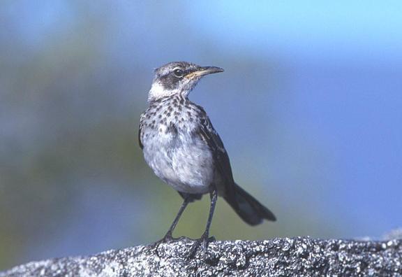 Gal_Mocking_bird_w