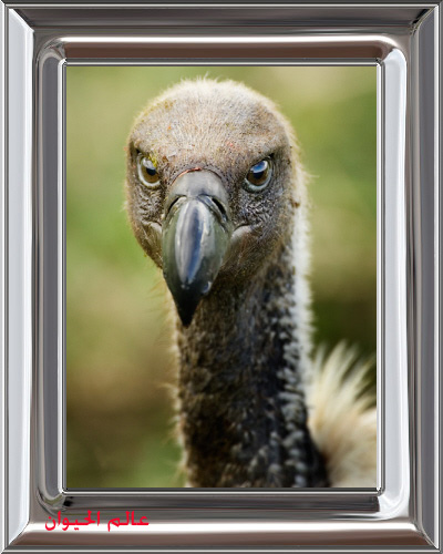 vulture.c01.19.2007