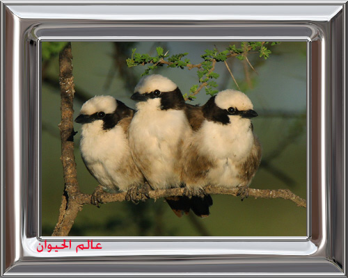 White-capped-Shrikes