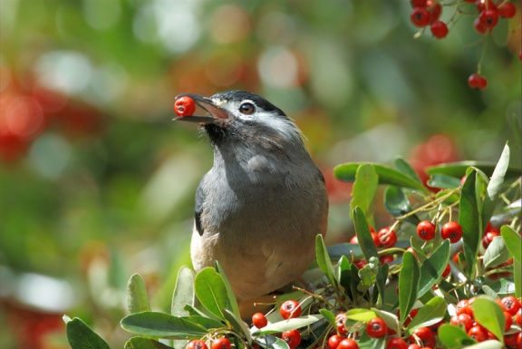 White-eared_Sibia_(Heterophasia_auricularis)أبيض ذو أذنين