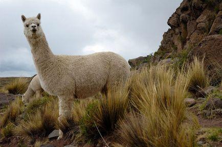800px-Alpacas_Sillustani_(pixinn.net)