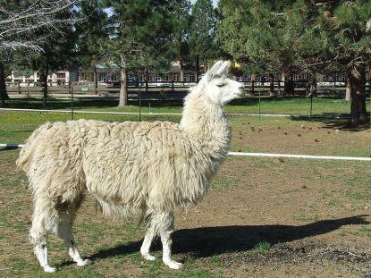 Domestic_llama_(2009-05-19)