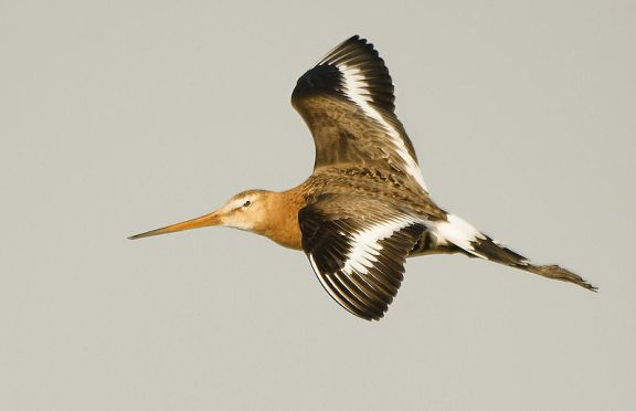 800px-Limosa_limosa_(flying)-2