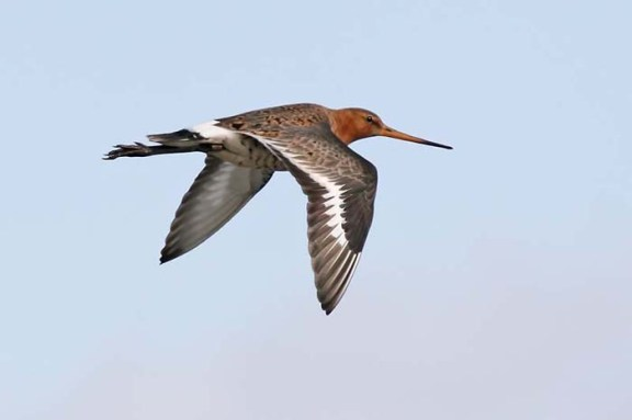 B t Godwit flying