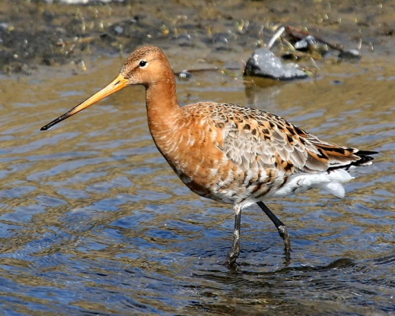 Black tailed Godwit-2