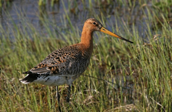 Black tailed Godwit-3