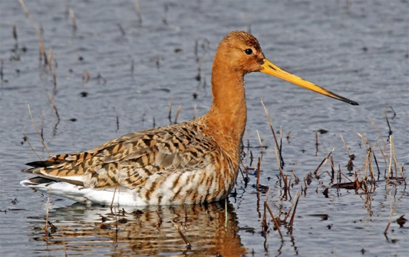 Black tailed Godwit-4