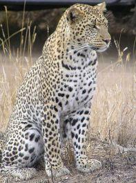 450px-Leopard_africaالنمر الإفريقي