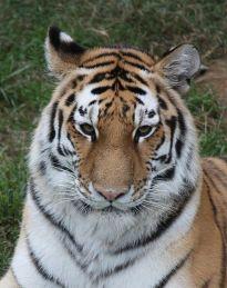 474px-Amur_Siberian_Tiger_الببر السيبيريّ.