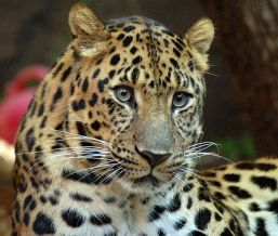 706px-Amur_Leopard_(نمر آمور أو نمر الشمال