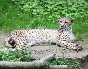 755px-Cheetah_الفهد الأعرف.
