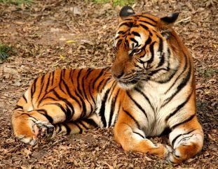 770px-2012_Suedchinesischer_Tigerببر جنوب الصين.
