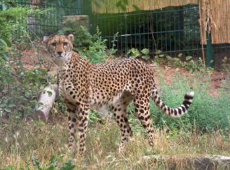 800px-Gepard_soemmeringiiفهد سومرنج، فهد أفريقيا الوسطى.