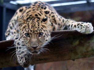 800px-Leopard_iنمر آمور أو نمر الشمال