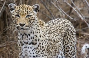 800px-One-eyed_African_leopard