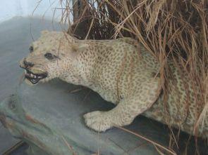 800px-Zanzibar_Leopard_5