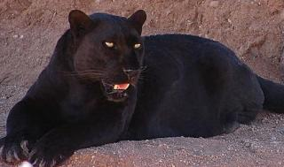 Blackleopard الاسود